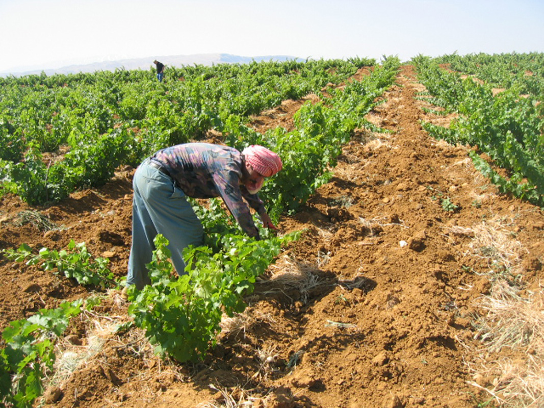 Musar vineyard